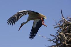 Ein Storch fliegt aus seinem Horst