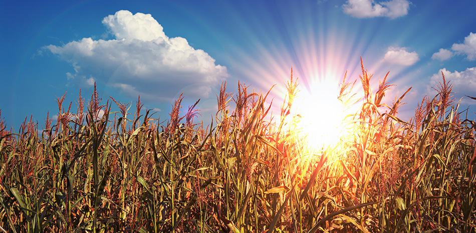 Sonne scheint über Maisfeld