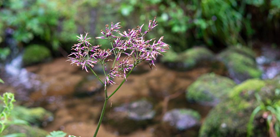 Pflanze im Wald mit Bach im Hintergrund